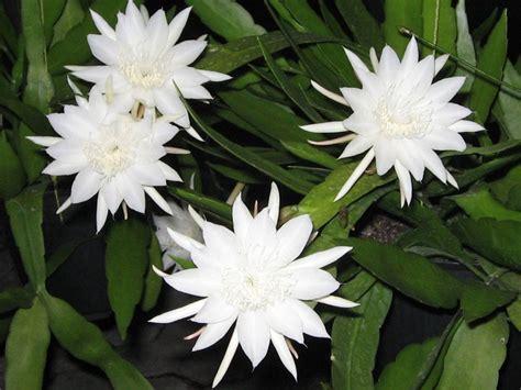 Jual Bibit Bunga Wijaya Kusuma jual bunga wijaya kusuma mini dan bangkok di lapak ronesta