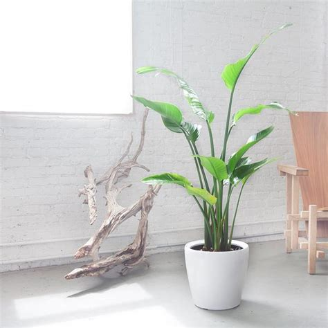 indoor plants nyc bird of paradise plant delivery shop online my city plants
