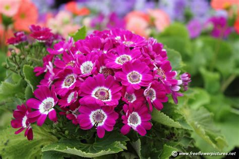 flower pic cineraria flower picture flower pictures 5423