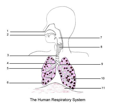 respiratory system diagram respiratory system diagram labeled human anatomy system