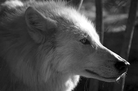 black and white wolf 26 free wallpaper hdblackwallpaper com black and white wolf wallpaper desktop
