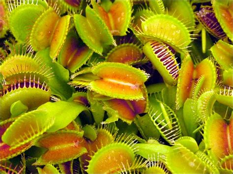 venus fly trap very hungry plant fun news