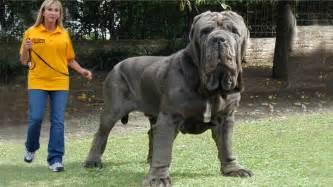 Big english mastiff world s biggest dog