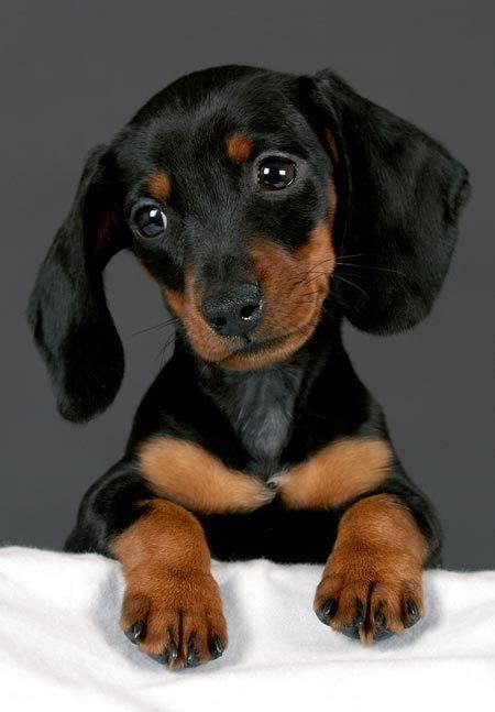 dachshund puppies ta henry the dachshund puppy this looks like