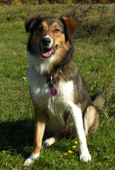 border aussie puppies border aussie information pictures reviews and q a greatdogsite