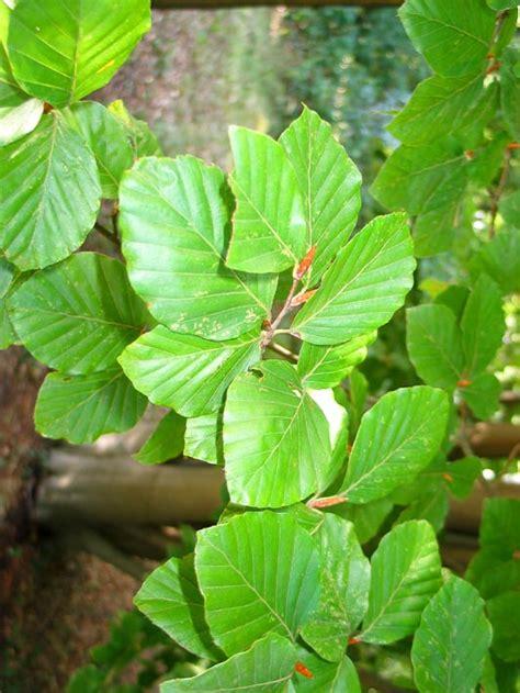 wit blad rode rand witte bloemen vijver logische blad sleutel bomen herkennen