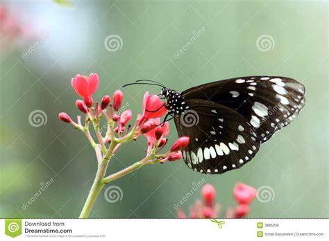 imagenes de mariposas blancas y negras mariposa blanca negra imagen de archivo libre de regal 237 as