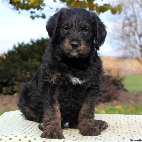 poodle and rottweiler mix rottie poo puppies for sale in pa