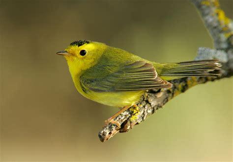 wilson s warbler audubon field guide