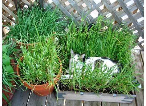 grass box diy cat grass box petdiys