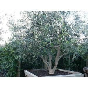 olea europaea wilsonii boething treeland farms
