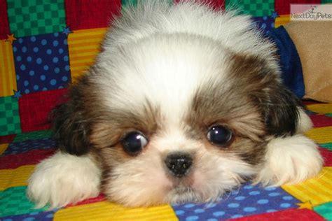 shinese puppies pekingese puppy for sale near tulsa oklahoma 09023117 9e11