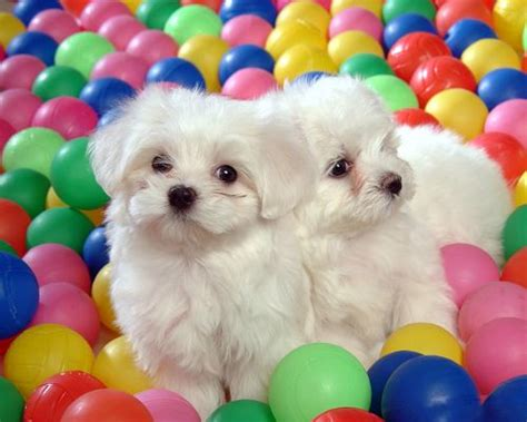 free baby puppies baby dogs picture two white puppies colorful balls around them free