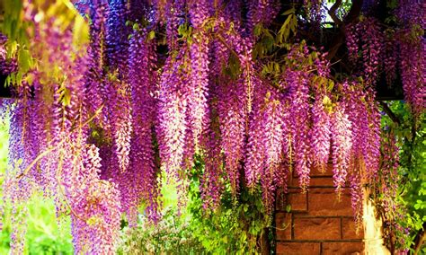 wisteria color wisteria tree flower shaped clusters in colors
