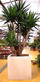 piante grandi da interno prodotti effe garden vivario serra giardinaggio