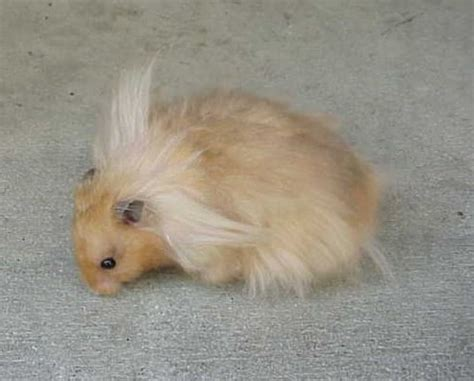 syrian long hairstyle pictures beli hamster syrian long hair kaskus the largest