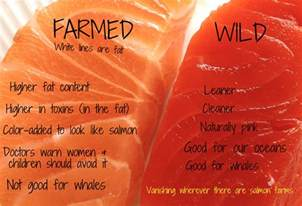 farmed wild salmon difference lost anchovy