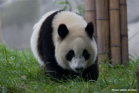 gambar binatang panda apps directories
