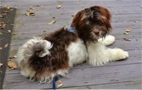 havanese rescue pa 1000 images about havanese rescue dogs on