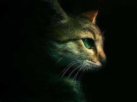 Cat For Iphone warrior cats wallpapers desktop wallpaper cave