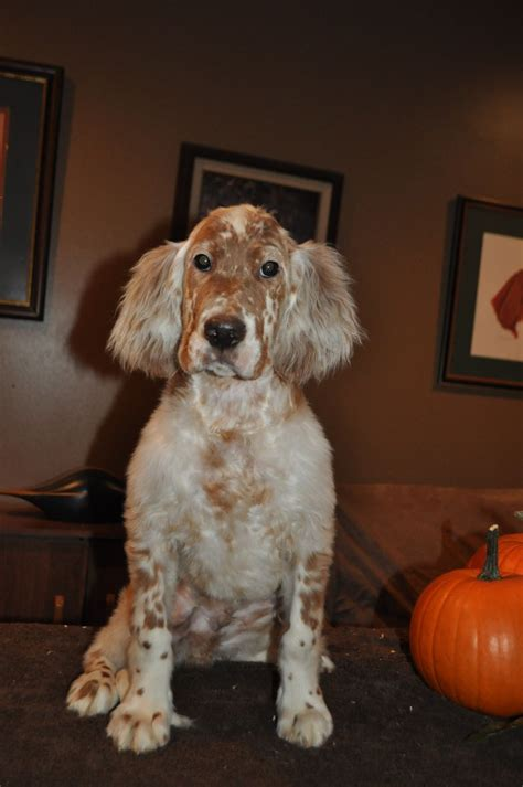 english setter apartment dog 17 best images about setter ridge english setters on
