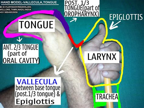 oropharynx vallecula  tongue making ent easy