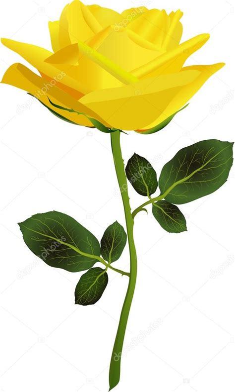asombrosas imagenes de rosas amarillas imagenes de rosa amarilla sobre un fondo blanco vector de stock