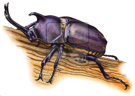 Japanese Rhinoceros Beetle (Allomyrina dichotoma) Line Art ...
