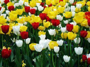 Biji Bunga Peony Biru dunia flora bunga tulip