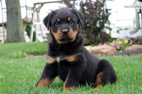 puppy rottweiler for sale near me rottweiler puppy for sale near lancaster pennsylvania 4eb9a67b 2041