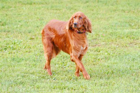 irish setter dog walker top 10 endearing dog breeds you can t resist bringing home