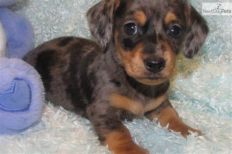 dachshund puppies iowa dachshund puppy for sale near fort dodge iowa 072d466f b7b1