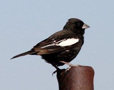lark bunting colorado state bird birds juxtapost