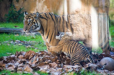 new year 2018 animal tiger photos the tiger cubs play at disney s animal