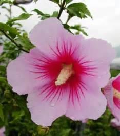 learning korea south korea s national flower 무궁화
