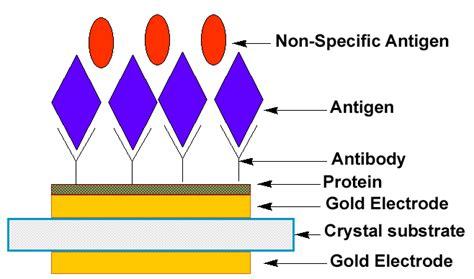 explain the antigen antibody reaction diagram antigen antibody reaction diagram www pixshark
