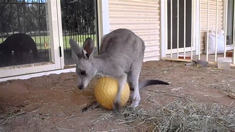 kangaroo swing roopey playing with his toy ball youtube
