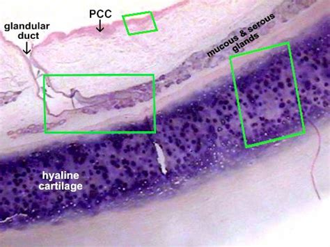 cross section of trachea trachea cross section