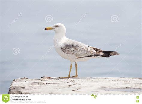 il gabbiano uccello uccello gabbiano di mare immagine stock immagine di