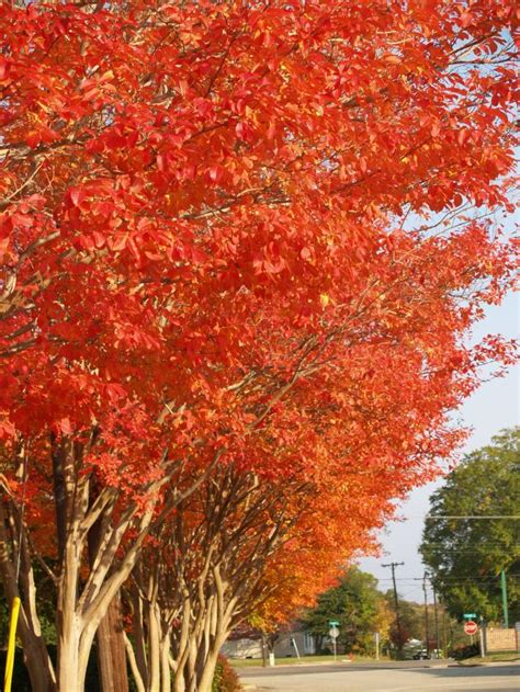 crape myrtle colors color your landscape every fall east gardening