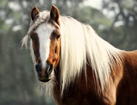 horses  beautiful hair beautiful horses horse hair