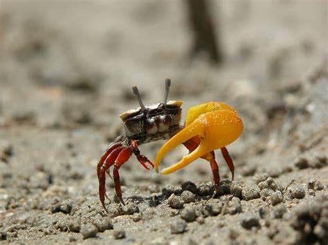 studying fiddler crabs at east point reserve northern