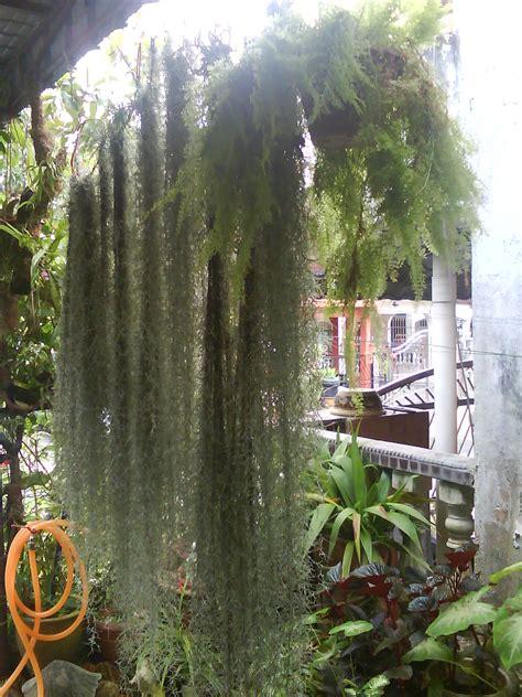 garden chronicles tips  grow spanish moss