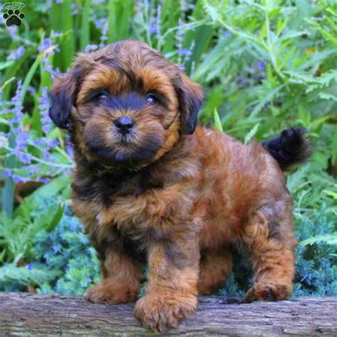 puppy honey honey shorkie poo puppy for sale in pennsylvania