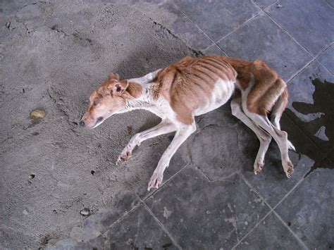sick dogs weak sick rescued from autonagar pound chfarescues