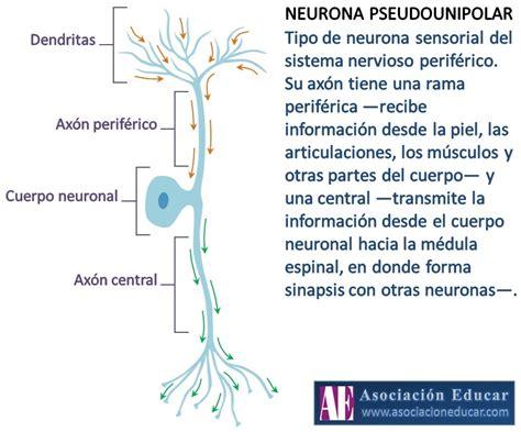 imagenes de neuronas sensoriales infograf 237 a neurociencias neurona pseudounipolar