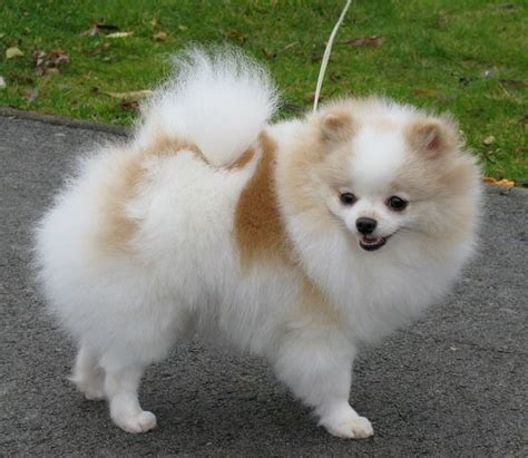 what are pomeranians like 20 ide anjing pomeranian terbaik di