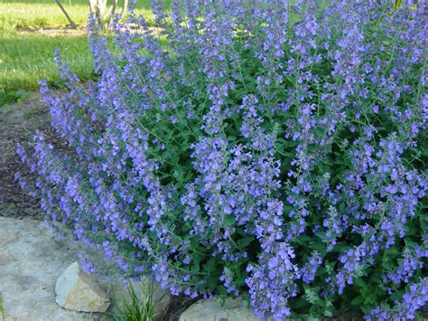 Plants That Require Little Sun by Walker S Low Catmint Grimm S Gardens