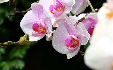 The Gallery For Gt Orchids In Water Wallpaper