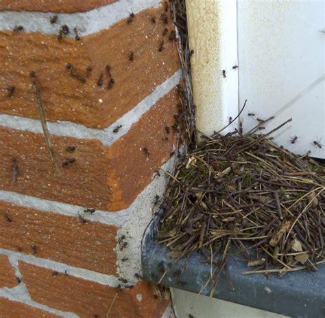 ameisenplage im haus ameisen im garten ameisen im hochbeet garten interessante